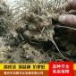 北苍术种子 朱砂点苍术 药材种子 送种植技术 包发芽率