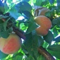 现货5斤包邮陕西桃子水蜜桃 非龙泉水蜜桃 新鲜桃子一件代发毛桃